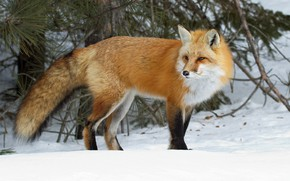 Picture snow, red, Fox