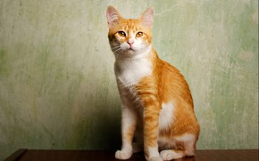 Picture cat, cat, look, pose, red, muzzle, sitting, green background, Studio