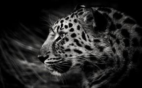Picture spot, leopard, profile