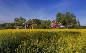 Picture field, summer, the sky, houses, Sweden, rape