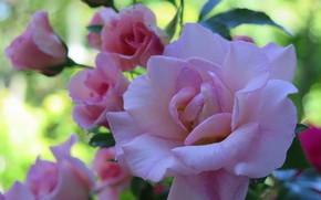 Picture pink, rose, buds