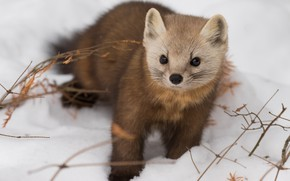 Picture winter, look, snow, muzzle, animal, marten