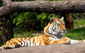 Picture greens, summer, look, tiger, pose, tree, stay, stone, paws, lies, snag, zoo