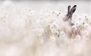 Picture field, nature, hare, dandelions, light background