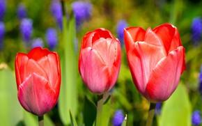 Picture macro, flowers, spring, tulips, red, trio, buds, flowerbed, bokeh
