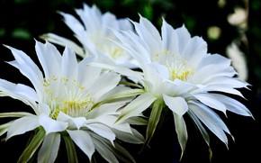 Picture flowers, cactus, pair, white