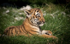 Picture grass, tiger, lies, tiger
