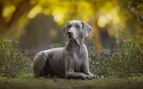 Picture dog, bokeh, The Weimaraner, Weimar pointer