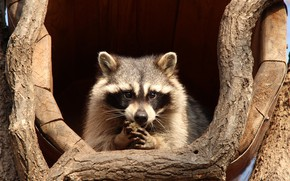 Picture branches, the dark background, raccoon