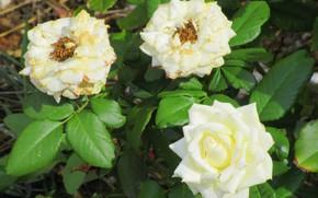 Picture Bush, roses, trio, Meduzanol ©, summer 2018
