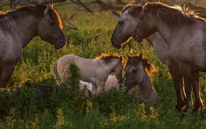 Picture grass, light, nature, glade, horse, horses, horse, cub, mother, foal, party