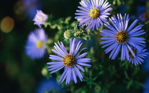 Picture light, flowers, the dark background, garden, lilac, bokeh, asters