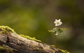 Picture flower, nature, Anemone nemorosa, Wood Anemone