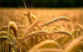 Picture field, macro, rye, ears, cereals, barley