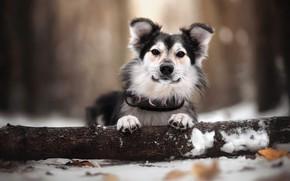 Picture winter, leaves, snow, nature, animal, dog, log, dog, bokeh