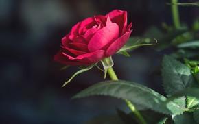 Picture flower, leaves, the dark background, rose, stem, Bud, red, scarlet, bokeh