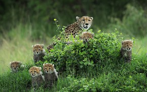 Picture greens, summer, grass, look, nature, kittens, Cheetah, kids, mom, a lot, family, cheetahs, faces, brood, …