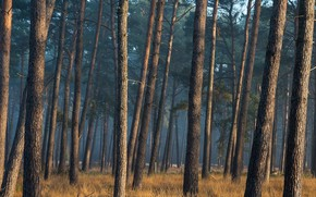 Picture forest, trees, trunks, pine, pine forest
