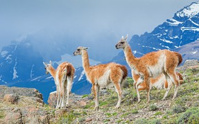 Picture the sky, mountains, company, Lama