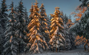 Picture Nature, Winter, Snow, Forest