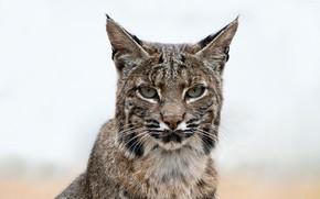 Picture face, background, portrait, lynx, bokeh