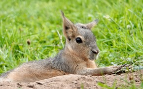 Picture grass, look, lies, face, rodent, the Patagonian hare, Mara, Patagonian Mara