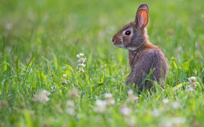 Picture grass, glade, hare, baby, Bunny, hare