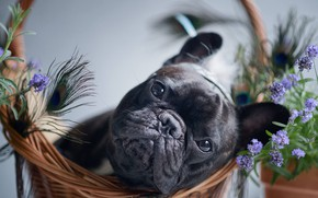 Picture look, flowers, basket, dog, feathers, face, doggie, French bulldog