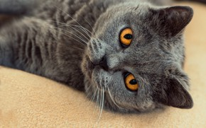 Picture cat, cat, look, face, close-up, grey, background, portrait, lies, British, smoky, yellow eyes