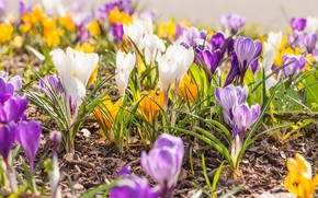 Picture glade, spring, yellow, crocuses, white, different, lilac