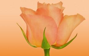 Picture orange, rose, Bud