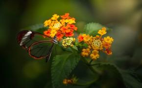 Picture macro, flowers, butterfly, Lantana, Greta oto, Стеклянная бабочка
