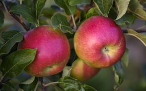 Picture tree, apples, Nature, fruit