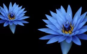 Picture blue, flowers, macro, bloom, flora