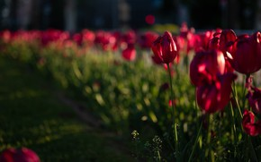Picture light, flowers, blur, spring, tulips, red, buds, flowerbed, bokeh