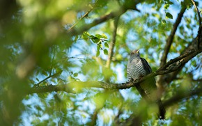 Picture greens, leaves, branches, tree, bird, foliage, dove, blur, spring, bokeh