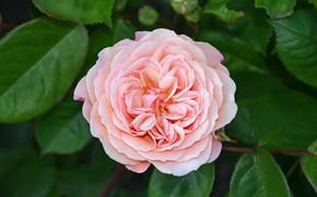 Picture rose, petals, flowering