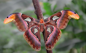 Picture macro, background, butterfly, branch, insect, bokeh, Emperor moth