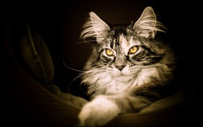 Picture look, Maine Coon, personal space, paw, handsome, fluffy, Nora, bedroom, yellow eyes, cat, pose, the …