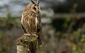 Picture owl, blurred background, on the stump