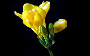 Picture macro, yellow, Freesia