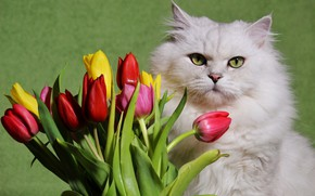 Picture white, flowers, fluffy, Cat, tulips