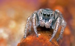 Picture eyes, macro, orange, background, legs, spider, bokeh, blurred background, jumper, jumper, the Hoppy