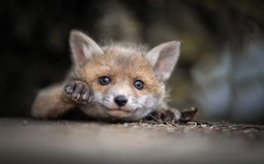 Picture nature, animal, cub, Fox, moredock