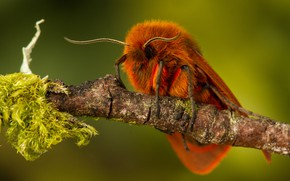 Picture macro, butterfly, moss, orange, branch, red, moth, green background, hairy