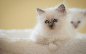 Picture white, look, pose, kitty, background, baby, muzzle, kittens, lies, kitty, blue eyes, litter, marks, ragdoll