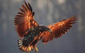 Picture bird, wings, predator, eagle, the scope