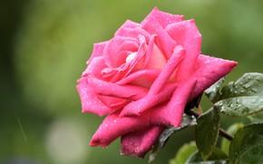 Picture flower, leaves, drops, background, rain, pink, rose, stem, Bud, lush, garden