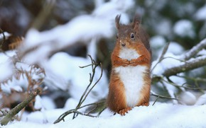 Picture winter, snow, branches, protein, red, stand, rodent