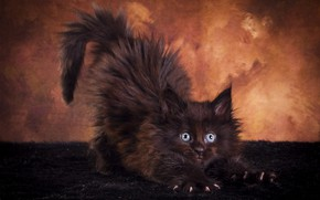 Picture cat, look, pose, the dark background, kitty, black, fluffy, muzzle, fur, stretching, Studio